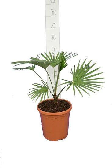 Trachycarpus princeps blue-silver total heigt 50-70 cm