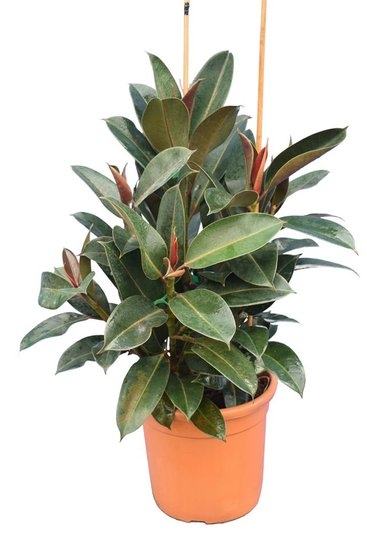 Ficus elastica Melanie pot Ø 25 cm