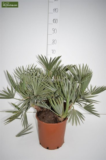 Trithrinax campestris multitrunk pot Ø 26 cm