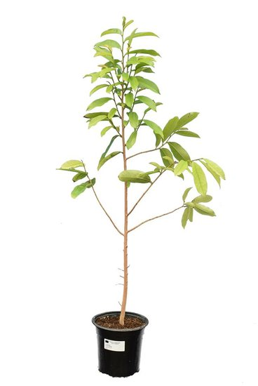 Annona muricata pot Ø 22 cm