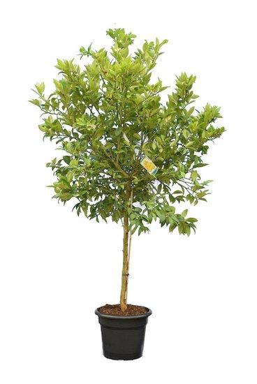 Citrus Limequat pot Ø 35 cm