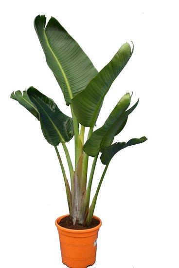 Strelitzia nicolai total height 100-120 cm - 1 plant per pot