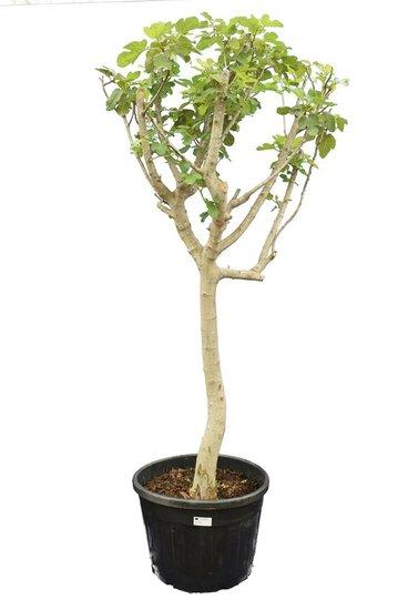 Ficus carica Brown Turkey pot Ø 50 cm