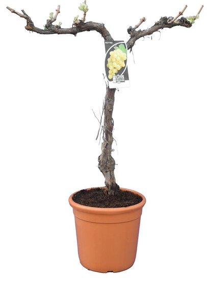 Vitis vinifera pot Ø 33 cm