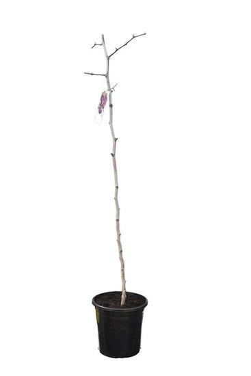 Ziziphus sativa pot Ø 25 cm