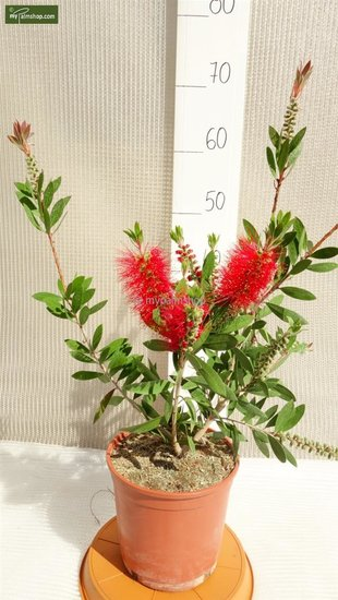 Callistemon sp. Laevis - 3Ltr pot