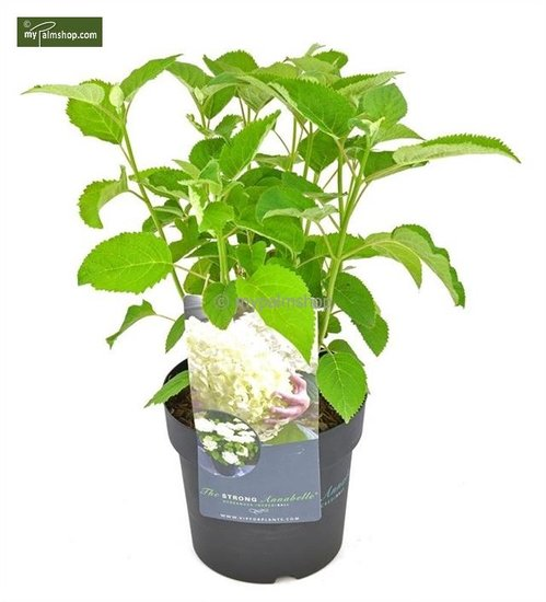 Hydrangea arborescens Strong Annabelle 3 ltr