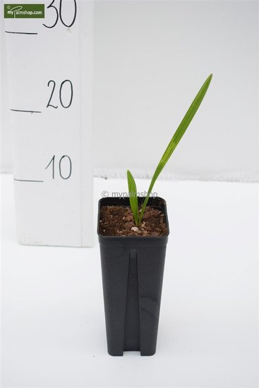 Trachycarpus nanus x fortunei 0.7 ltr