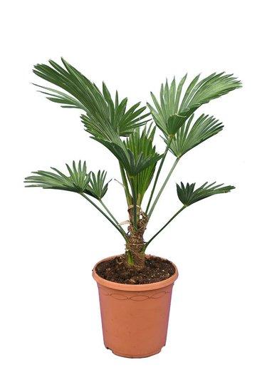 Trachycarpus wagnerianus Frosty pot Ø 23 cm total height 60-80 cm