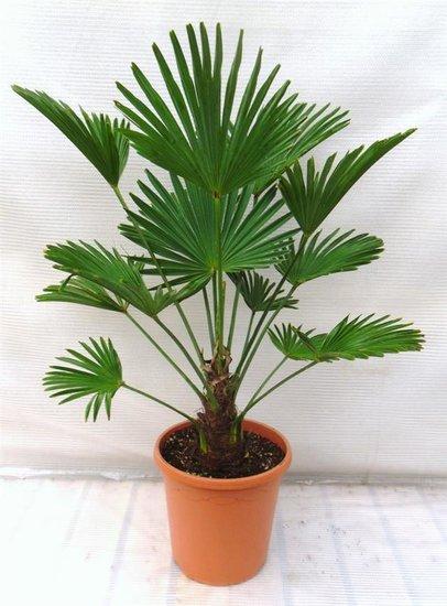 Trachycarpus wagnerianus trunk 15-25 cm total height 90-110 cm