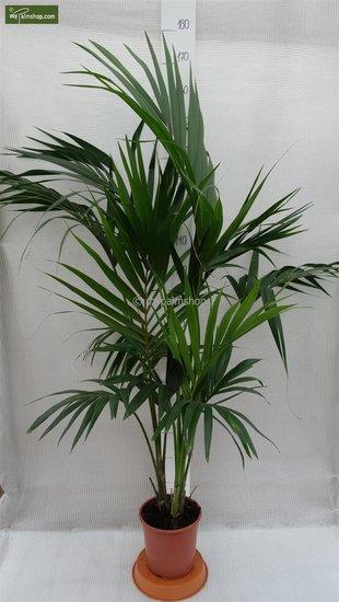 Howea Forsteriana total height 130-150 cm