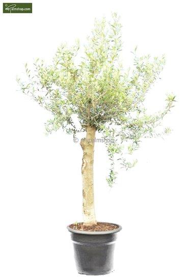 Olea europaea Bonsai pot Ø 45 cm