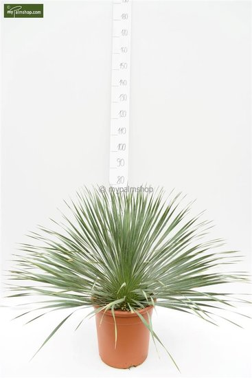 Yucca rostrata total height 70-90 cm
