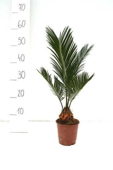 Cycas revoluta Ø 12 cm pot - total height 35-45 cm