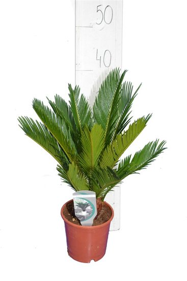 Cycas revoluta pot Ø 14 cm - total height 34-45 cm