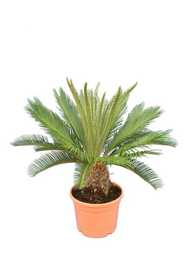 Cycas revoluta pot Ø 28 cm - total height 75-95 cm
