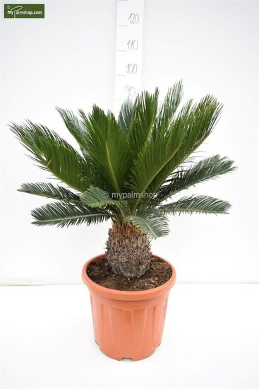 Cycas revoluta trunk 15-25 cm - pot Ø 33 cm - total height 80-90 cm