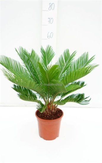 Cycas revoluta pot Ø 18 cm - total height 60-80 cm