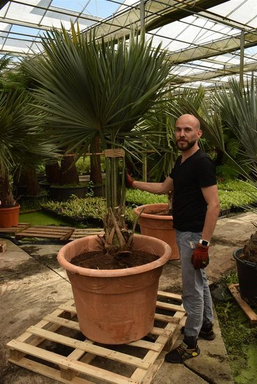 Sabal palmetto pot Ø 85 cm [pallet]