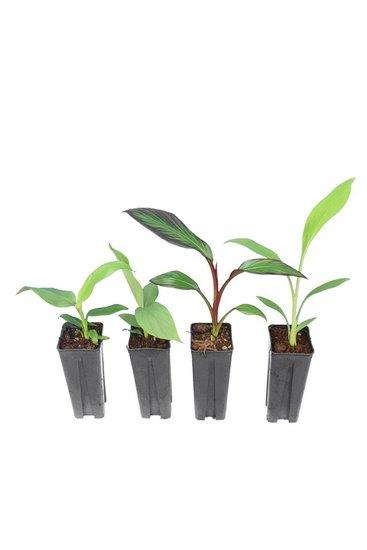 Musa set 0,7 ltr (Musa basjoo, Musa sikkimensis Red Tiger, Musella lasiocarpa, Ensete maurelli)