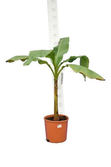 Musa basjoo fat trunk pot Ø 26 cm