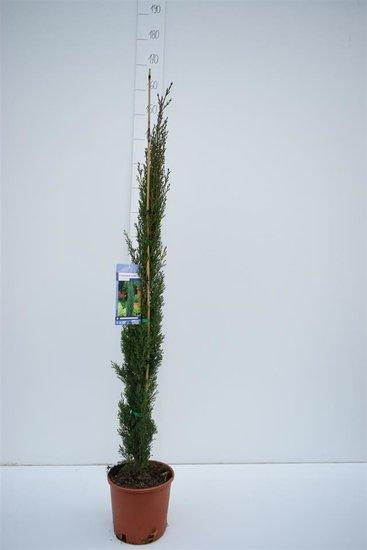 Cupressus Sempervirens Totem - total height 110-130 cm - 5,4 Ltr Ø 23 cm pot