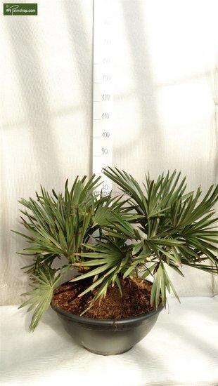 Trithrinax campestris trunk 20+ cm [pallet]