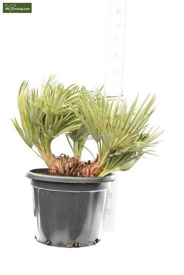 Trithrinax campestris trunk 20-30 cm [pallet]