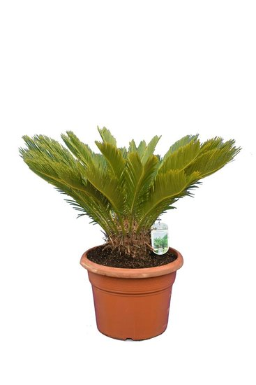 Cycas revoluta pot Ø 38 cm - total height 70-90 cm [pallet]