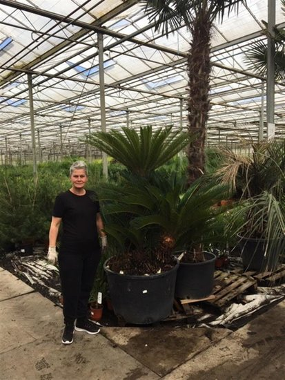 Cycas revoluta 230 ltr -  total height 190-210 cm [pallet]