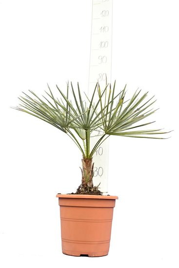 Chamaerops humilis Cerifer total height 50-70 cm - pot Ø 22 cm