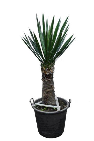 Yucca carnerosana trunk 50-60 cm [pallet]