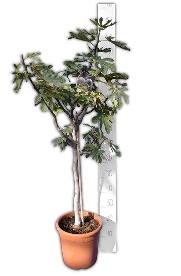Ficus carica Brown Turkey - trunk 60-80 cm - Ø 28 cm pot