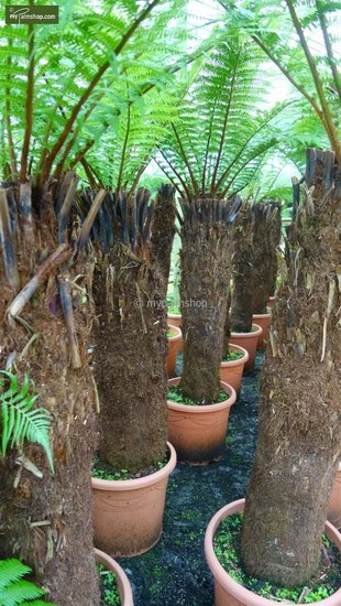 Dicksonia antarctica trunk 130-150cm - total height 270+ cm [pallet]