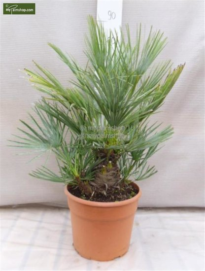 Chamaerops humilis Cerifera - total height 80-100 cm - trunk 10-20 cm - pot Ø 30 cm