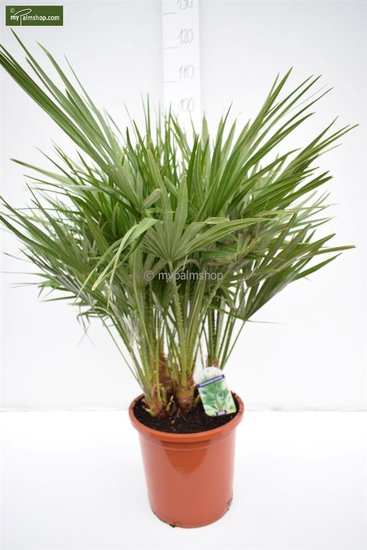 Chamaerops humilis - total height 80-100 cm - pot Ø 27 cm