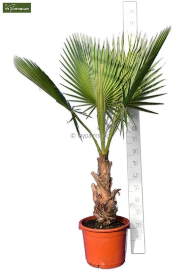 Washingtonia robusta trunk 40+ cm - pot 40 Ø cm - total height 160-180 cm [pallet]