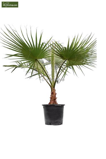 Washingtonia robusta trunk 30+ cm - pot Ø 45 cm - total heigth 160+ cm [pallet]