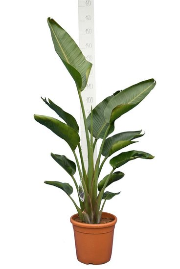 Strelitzia nicolai - total height 120-140 cm - pot Ø 24 cm - 2 plants/pot