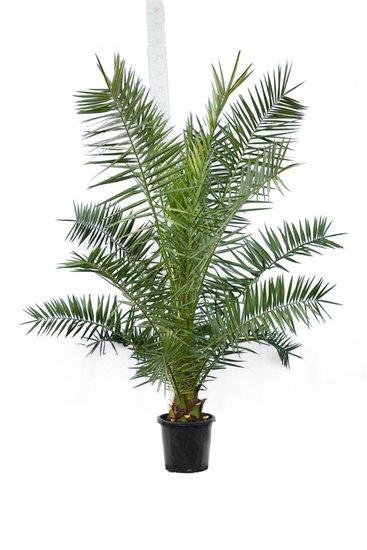 Phoenix canariensis total height 200+ cm - pot Ø 35 cm [pallet]