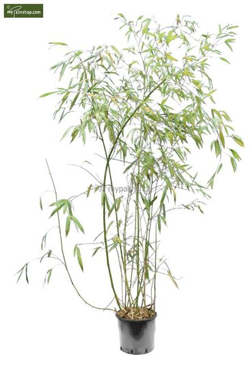 Phyllostachys viridiglaucescens 10 Ltr pot