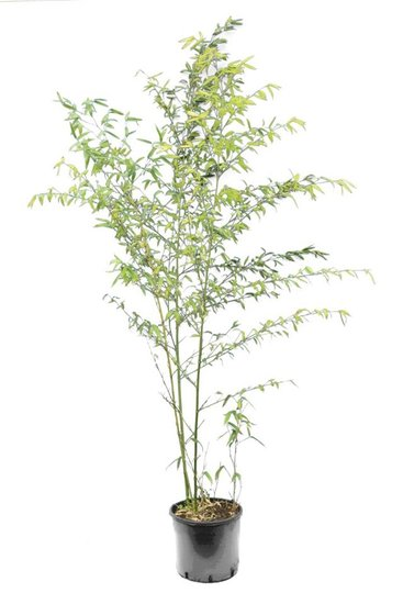 Phyllostachys parvifolia 5 ltr