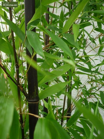Phyllostachys nigra 5 ltr pot