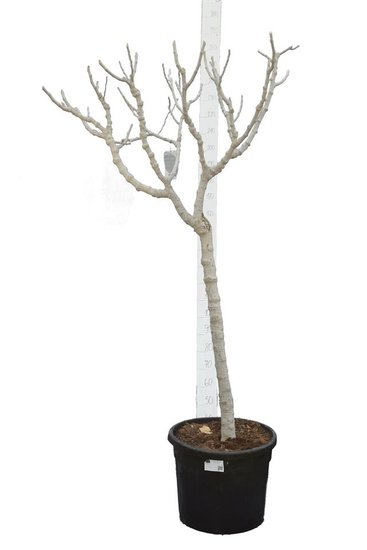 Ficus carica Brown Turkey pot Ø 50 cm [pallet]