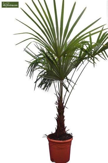 Trachycarpus sp. Kumaon trunk 30-40 cm - total height 170-190 cm [pallet]