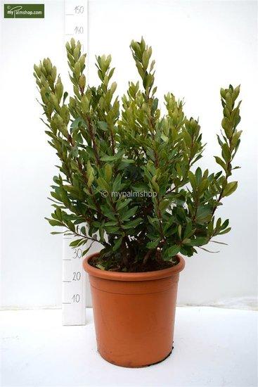 Arbutus unedo Ø 40 cm pot [pallet]