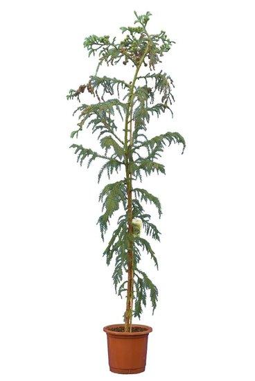 Cryptomeria japonica Rasen pot Ø 32 cm [pallet]
