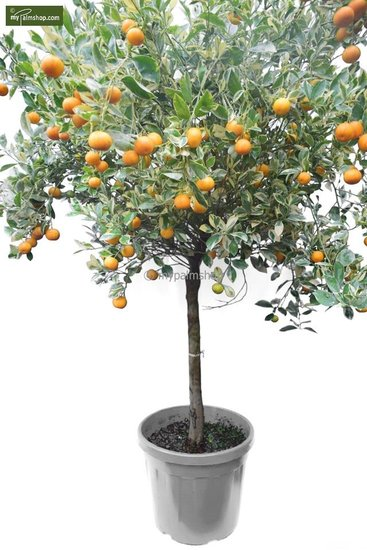 Citrus mitis Calamondine trunk 60-70 cm [pallet]