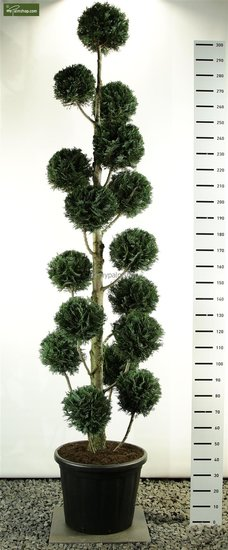 Chamaecyparis lawsoniana Columnaris Multibol pot: 100ltr. total height: 275-300cm [pallet]