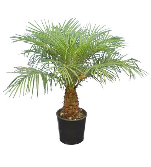 Phoenix roebelenii - trunk 20-30 cm - total height 100-120 cm - Ø 26 cm pot